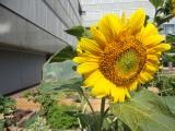 De zonnebloemen bloeien