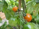 Toekomstige oogst