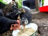De Kippenclub krijgt een haan!